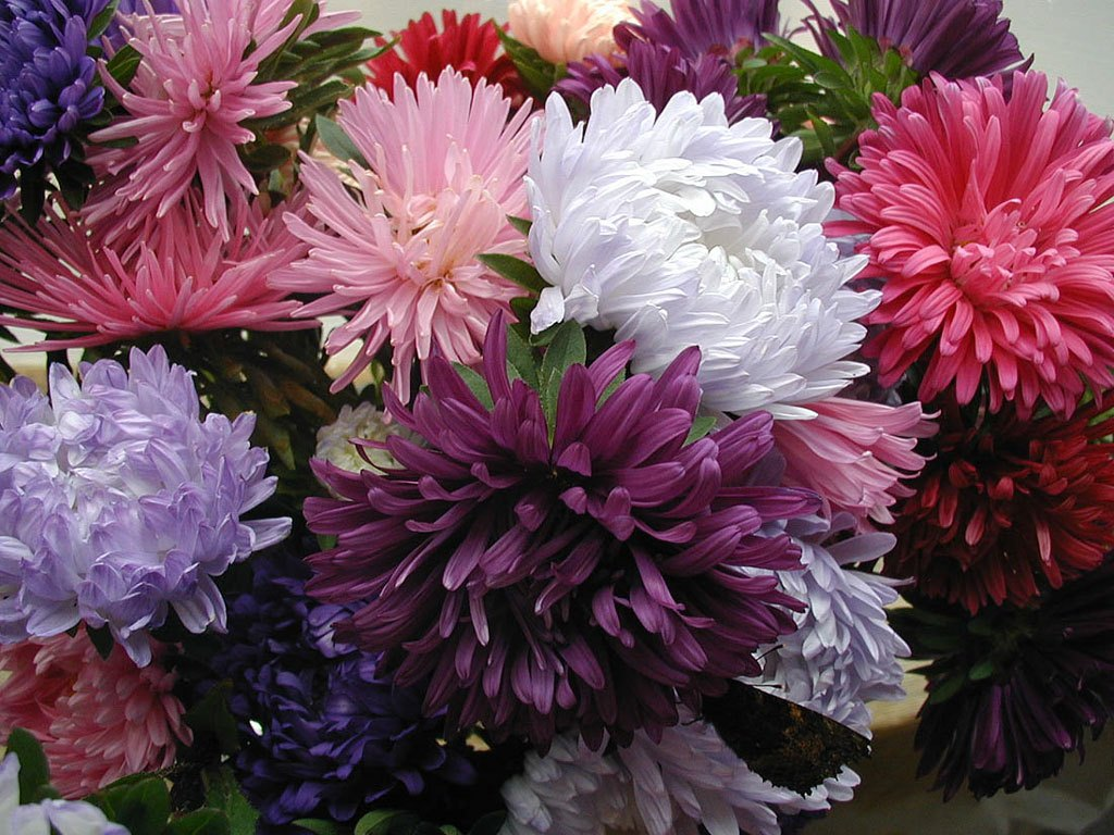 Астра картинки цветов